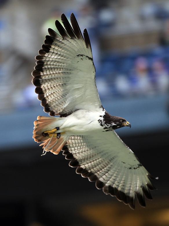 Seattle Seahawks live mascot, Taima the augur hawk.