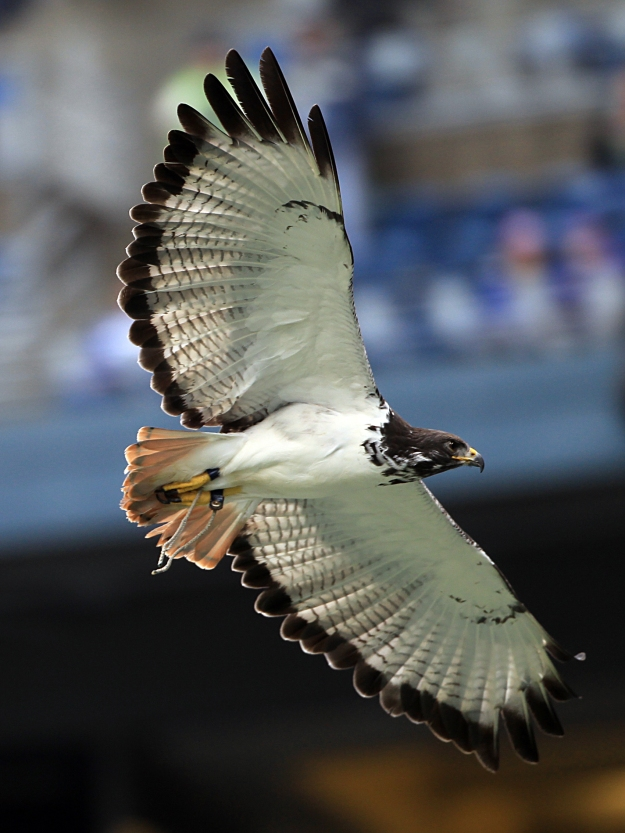 Seattle Seahawks live mascot, Taima the augur hawk.